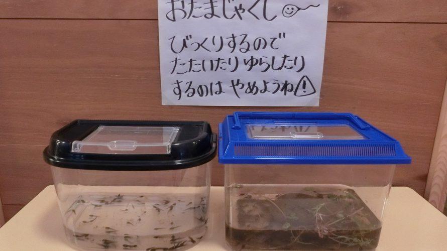 おたまじゃくしの観察(・・)~